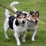 Perth Show…06.08.16 Happy Jack Russell terriers Picture by Graeme Hart. Copyright Perthshire Picture Agency Tel: 01738 623350  Mobile: 07990 594431