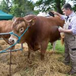 Perth Show…06.08.16 Dougie McBeath prepares his Limosin bull 'Woodroad James' for show Picture by Graeme Hart. Copyright Perthshire Picture Agency Tel: 01738 623350  Mobile: 07990 594431