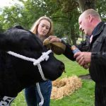 Perth Show…06.08.16 Ewen McRobert and Shona McLaren prepare Aberdeen Angus bull 'Cadona Punch' for showing Picture by Graeme Hart. Copyright Perthshire Picture Agency Tel: 01738 623350  Mobile: 07990 594431