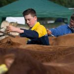 Perth Show…06.08.16 Robbie Wills grooming Limosin cattle before show Picture by Graeme Hart. Copyright Perthshire Picture Agency Tel: 01738 623350  Mobile: 07990 594431