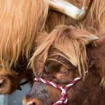 Perth Show…06.08.16 A Highland cow and calf Picture by Graeme Hart. Copyright Perthshire Picture Agency Tel: 01738 623350  Mobile: 07990 594431