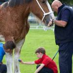Perth Show…06.08.16 Scott Greenhill (left) owner of Clydesdale Horse 'Lodge Lexi' grooming before showtime with the help of son William Greenhill (7) and David Christie Picture by Graeme Hart. Copyright Perthshire Picture Agency Tel: 01738 623350  Mobile: 07990 594431