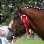 Perth Show…06.08.16 Colina McCulloch with Clydesdale Horse 'Elvis'  winner of the first prize for Gelding 3 & over Picture by Graeme Hart. Copyright Perthshire Picture Agency Tel: 01738 623350  Mobile: 07990 594431