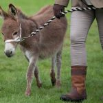 Perth Show…06.08.16 17 week old donkey foal 'Logan' is led into the ring by owner Aileen Charlton Picture by Graeme Hart. Copyright Perthshire Picture Agency Tel: 01738 623350  Mobile: 07990 594431