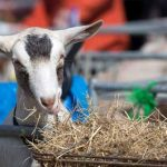 Perth Show…06.08.16 A goat tucks into some straw/hay Picture by Graeme Hart. Copyright Perthshire Picture Agency Tel: 01738 623350  Mobile: 07990 594431