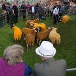 Perth Show…06.08.16 Flying through the air with the greatest of ease…this North Type Blackface sheep jumps into the ring to join the others for judging. Picture by Graeme Hart. Copyright Perthshire Picture Agency Tel: 01738 623350  Mobile: 07990 594431